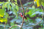 Colorful of black and red bird  — Photo