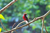 Colorful of black and red bird  — Stock Photo