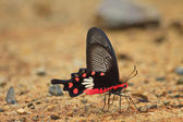 Beautiful Butterfly on ground  — Stock Photo