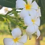 Branch of tropical flowers frangipani — Stock Photo #47176683