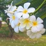 Branch of tropical flowers frangipani — Stock Photo #47177239