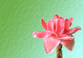 Flowers from Thailand, Etlingera Elatior or Red Torch Ginger  — Stock Photo