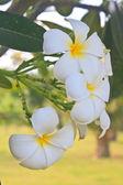 Branch of tropical flowers frangipani  — Stock Photo
