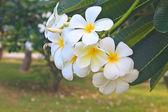 Филиал тропические цветы Франгипани — Стоковое фото
