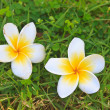 Plumeria or Frangipani Flowers on Green grass — Stock Photo #47255509