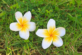 Plumeria or Frangipani Flowers on Green grass  — Stockfoto