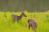 Beautiful female samba deer standing in Thai forest — Stock Photo