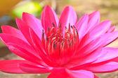The beautiful Blooming lotus flower — Foto de Stock