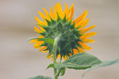 back of sunflowers  — Stock Photo