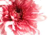 Closeup pink gerbera flora without background — Stock Photo