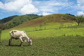 Cows grazing on a green summer, animal farm at countryside of Thailand — Stock Photo