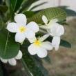 Stock Photo: Beautiful frangipani flowers on tree