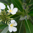 Beautiful frangipani flowers on tree — Stock Photo #30932643