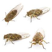 Four cicada isolated on white background — Stock Photo