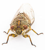 Cicada isolated on white background — Stock Photo