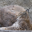 Stock Photo: Lynx lying with closed eyes in profile