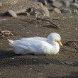 White duck lying on the brown sand — Stock Photo