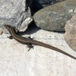 Lizard between the stones — Stock Photo
