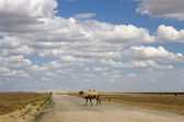 One camel on road — Stock Photo