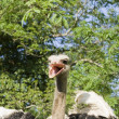 Ostrich head with beak open — Stock Photo #28657885