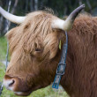 Scottish highland cow — Stock Photo #31036683