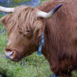 Scottish highland cow — Stock Photo