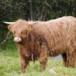 Scottish highland cow — Stock Photo