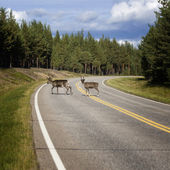 Reindeer on the road — Stock Photo