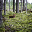 Stock Photo: Dachshund dog in coniferous forest
