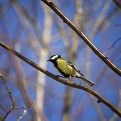 Bird tit sitting on a branch — Stock Photo