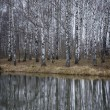 Birch forest in late autumn — Stock Photo