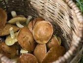 Mushrooms (Suillus luteus) in a basket — ストック写真