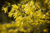 Forsythia blooms in early spring — Stock Photo