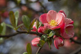 Chaenomeles Japanese blossoms  — Stock Photo