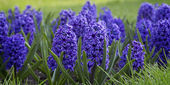 Blue hyacinths blooming  — Stock Photo