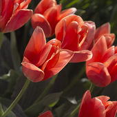 Pink tulips in the park — Stock Photo