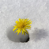 Dandelion flower in the snow — Stock Photo