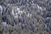 Ladera de la montaña en invierno. abeto nevado — Foto de Stock