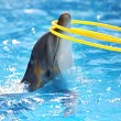 Dolphin with a hula-hoop — Stock Photo