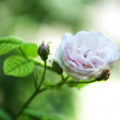 White rose — Stock Photo #26619911