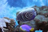 Angel fish — Stock Photo