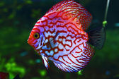 Pink discus — Stock Photo