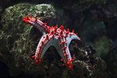 Estrella de mar rojo — Foto de Stock