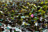 Lotus flower in pond — Stock Photo