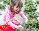 Pretty Young Girl Picking Fruit at Strawberry Farm — Stock Photo