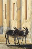 Donkey — Stock Photo