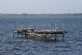 Birds at lake Lesina — Stock Photo