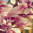 Blossoming magnolia — Stock Photo