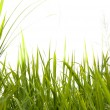 Green grass isolated on white background — Stock Photo