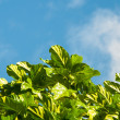 Fresh leaves against the sky — Stock Photo